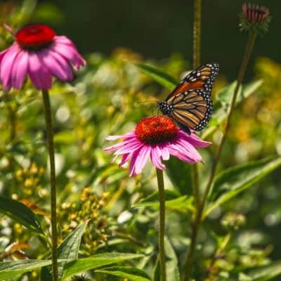 ¡Cómo plantar un Jardín para recibir Mariposas, Abejas y Mariquitas!